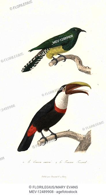 African emerald cuckoo, Chrysococcyx cupreus, and black-mandibled toucan, Ramphastos ambiguus. Handcoloured copperplate engraving from Rene Primevere Lesson's...