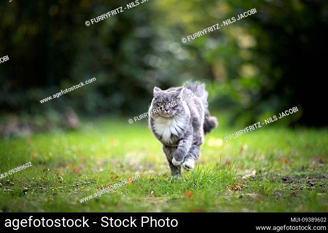 blue tabby maine coon cat running overlawn in nature