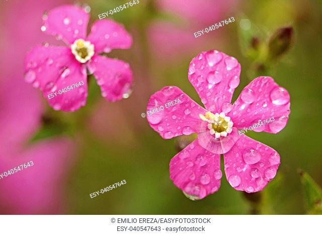 Droplets on red campion flowers