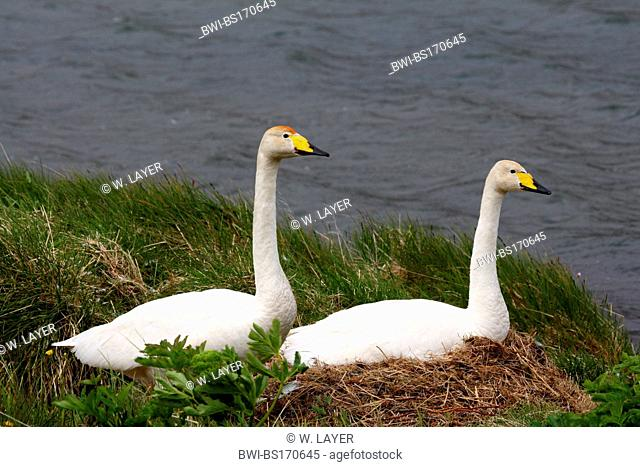 whooper swan (Cygnus cygnus), at nest, Iceland