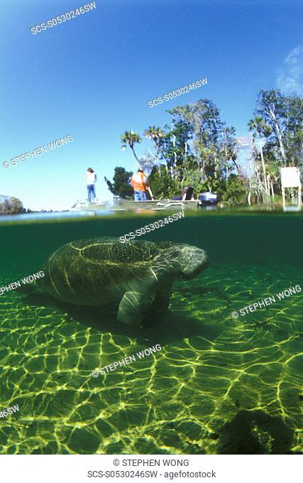 Manatee & people on boat Split shot Homossassa, Florida, USA