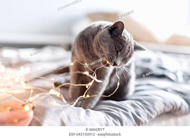 Russian blue cat with Christmas lights, selective focus. Woman holding garland playing with cat in bed