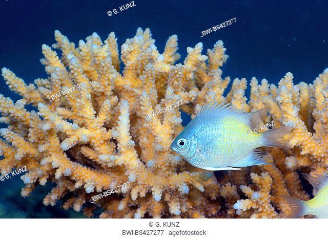 Yellowfin damsel (Amblyglyphidodon flavilatus), at coral reef, Egypt, Red Sea, Hurghada