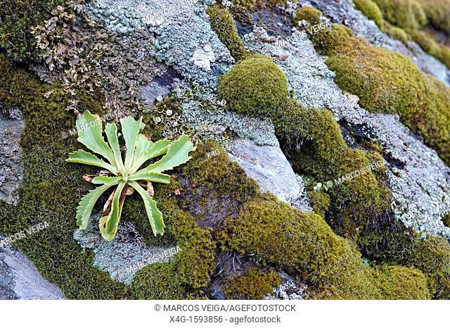 Anarrhinum bellidifolium plant growing on rocky environment