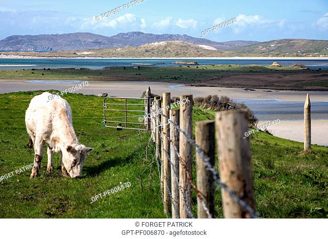 COWS ON THE ROAD TO MAGHERA, BALLYNESS BAY, ARDARA, COUNTY DONEGAL, IRELAND