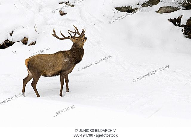 Red Deer (Cervus elaphus). Stag standing on a rocky slope in snow. Tyrol, Austria