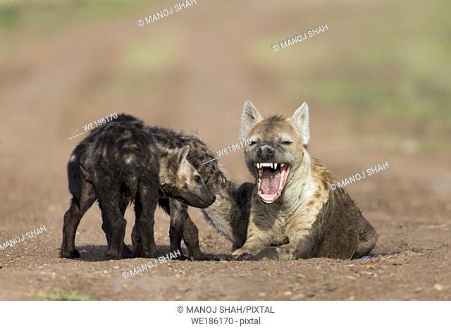 Hyena cub watching mother yawn. Masai Mara National Reserve, Kenya