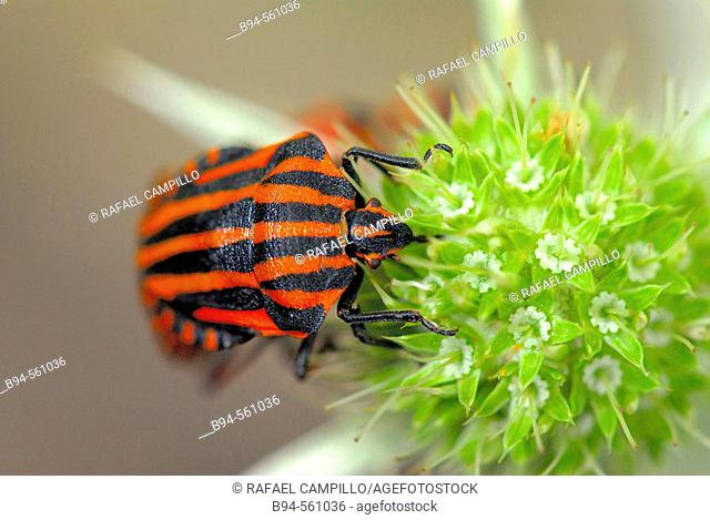 Shield bug (Graphosoma lineatum)