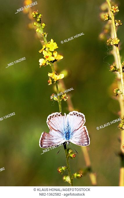Chalk Hill Blue Butterfly (Lysandra coridon) male with open wings on Common agrimony, European groovebur (Agrimonia eupatoria) - Bavaria/Germany