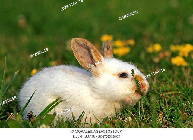 Domestic rabbit  Oryctolagus cuniculus  Order: Lagomorpha  Family: Leporidae