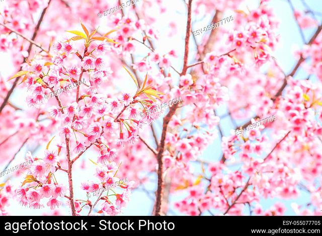 Spring time with beautiful cherry blossoms, pink sakura flowers