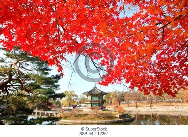 Autumn tree with a pavilion in the background, Hyangwonjeong Pavilion, Gyeongbokgung Palace, Seoul, South Korea