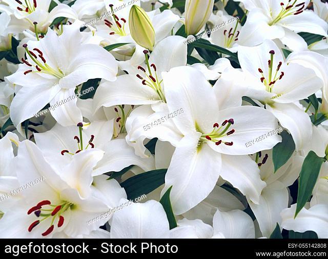 White liles in the Keukenhof park