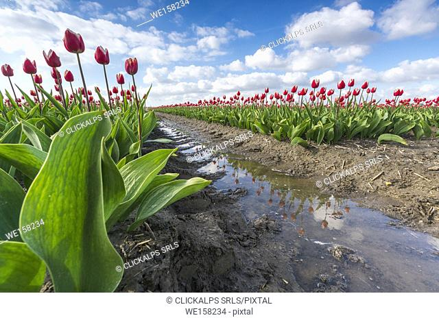 Pink tulips and water on the pathway. Yersekendam, Zeeland province, Netherlands