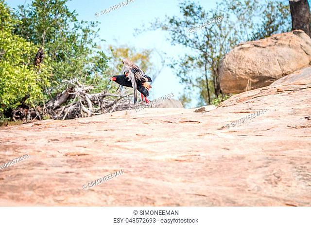 Flying Bateleur in the Kruger National Park, South Africa