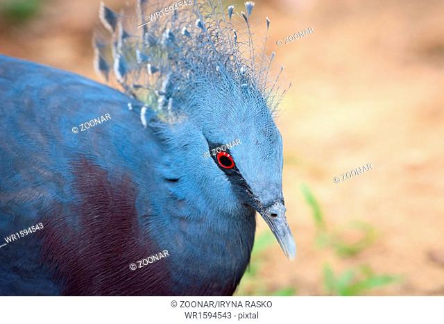 Victoria Crowned Pigeon bird (Goura victoria)