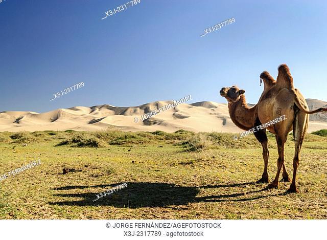 Camel in the Gobi desert, Mongolia, Asia