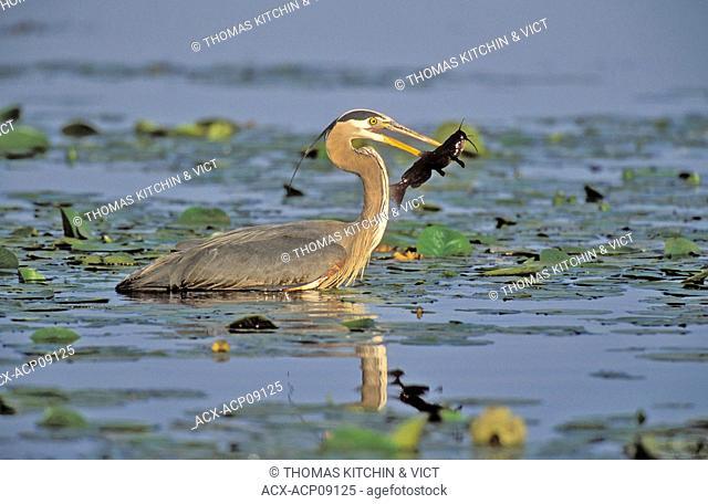 Great Blue Heron Ardea herodias catches brown catfish/bullhead amid lily pads, spring, Burnaby Lake, British Columbia, Canada