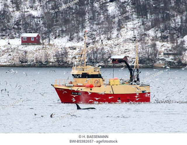 orca, great killer whale, grampus (Orcinus orca), killer whale and seagulls at fishing trawler, Norway, Troms, Kvaloeya, Kaldfjorden