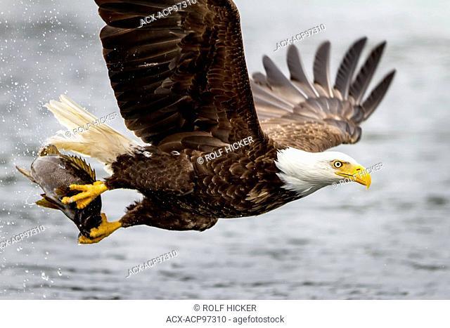 Bald eagle flying with fish along the Great Bear Rainforest, British Columbia coast, British Columbia, Canada