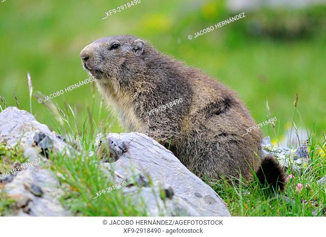 Alpine Marmot (Marmota marmota). Ordesa National Park. Pirineos mountains. Huesca province. Aragon. Spain
