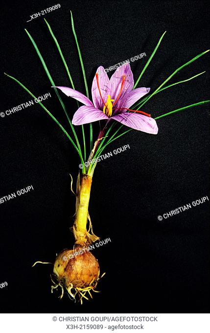 saffron crocus sativus, Loiret department, region of Centre, France, Europe
