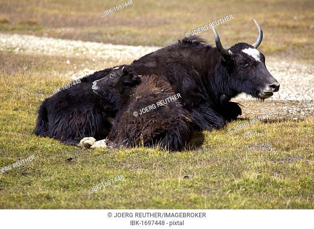 Yak (Bos mutus) with calf, Pamir, Tajikistan, Central Asia