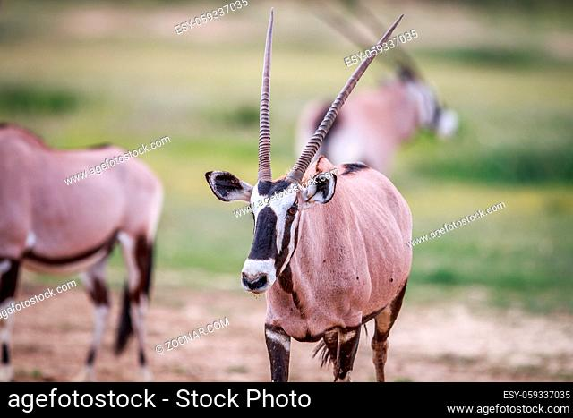 Gemsbok starring at the camera in the Kgalagadi Transfrontier Park, South Africa