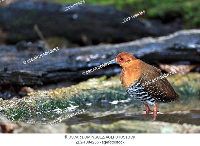 Red-legged Crake Rallina fasciata after bathing in a forest pool  Kaeng Krachan National Park  Thailand