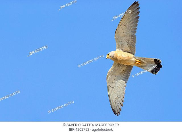 Lesser Kestrel (Falco naumanni), adult male in flight, Matera, Basilicata, Italy