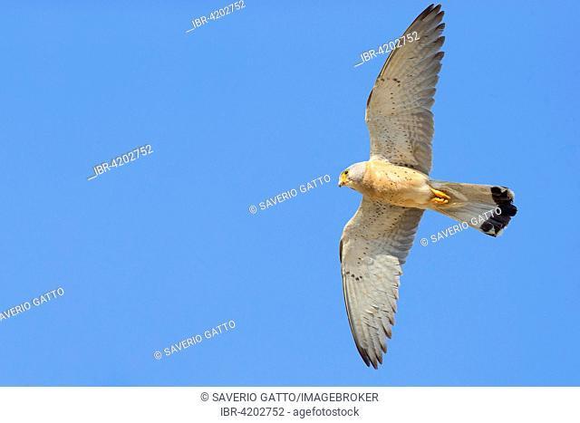 Lesser Kestrel (Falco naumanni), adult male in flight, Matera, Basilicata, Italy