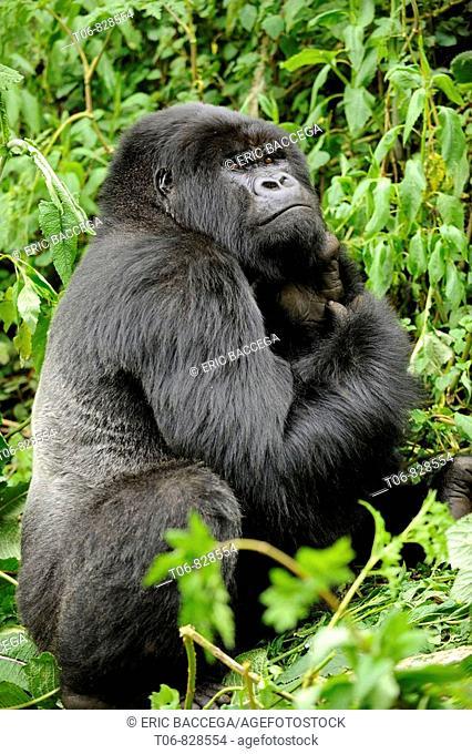 Male silverback mountain gorilla feeding (Gorilla beringei beringei) Volcanoes National Park, Rwanda, Africa