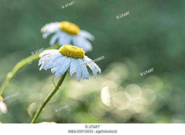 Meadow, marguerites, blossoms, detail, dewdrop, morning light, blur