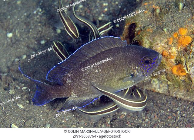 Damselfish (Pristotis obtusirostris, Pomacentridae family) with school of Striped Catfish (Plotosus lineatus, Plotosidae family), Joleha dive site