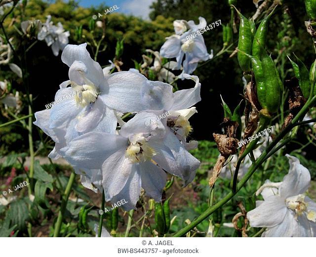 candle larkspur (Delphinium elatum 'Sopran', Delphinium elatum Sopran, Delphinium elatum-Hybride), flowers of cultivar Sopran
