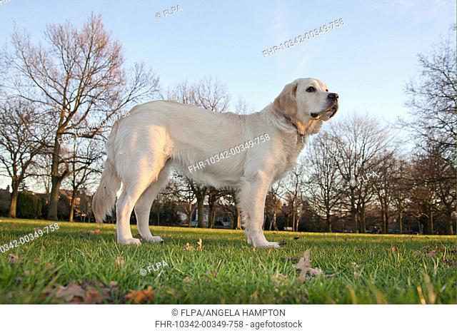 Domestic Dog, Golden Retriever, puppy, standing in parkland, England, february