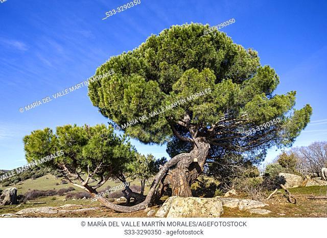 Pine in the meadows in El Hoyo de Pinares. Avila. Spain. Europe