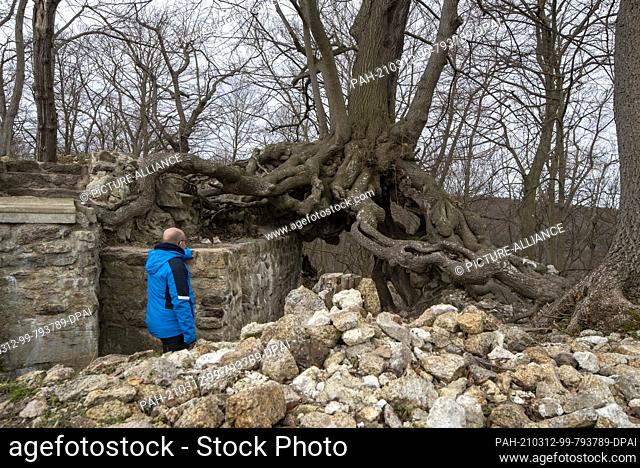 06 March 2021, Saxony-Anhalt, Stecklenberg: A hiker marvels at the root of a winter lime tree (Tilia cordata) that has been growing on the walls of the...