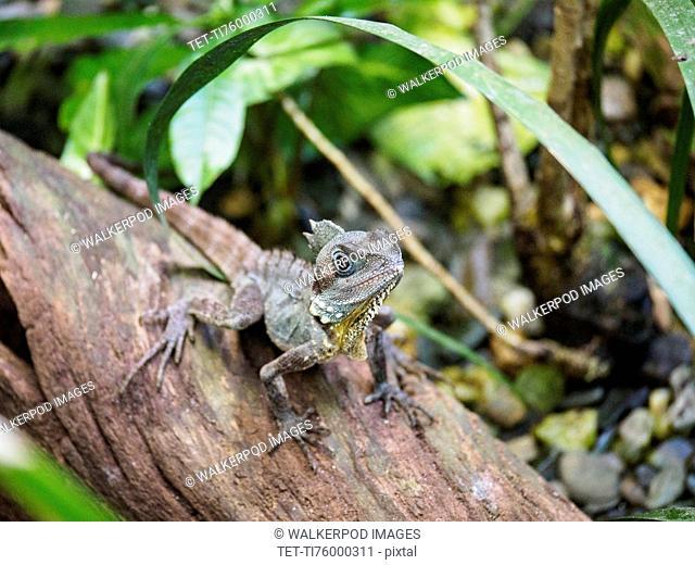 Boyd's forest dragon (Lophosaurus boydii) standing on branch