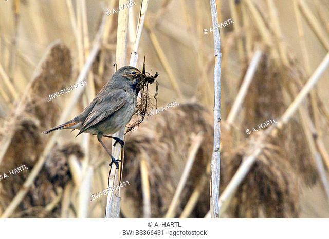bluethroat (Luscinia svecica cyanecula), female with nesting material on reeds, Germany, Bavaria, Lake Chiemsee