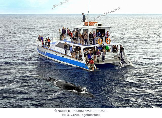 Group of tourists on a whale-watching boat, watching humpback whale (Megaptera novaeangliae), Mooloolaba Queensland, Pacific, Australia