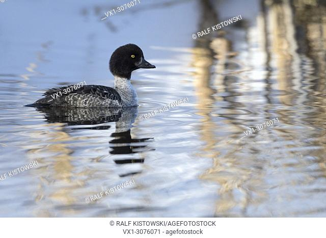 Barrow's Goldeneye ( Bucephala islandica ) in winter, adult female, swimming, icecold water, watching attentively, Wyoming, USA.