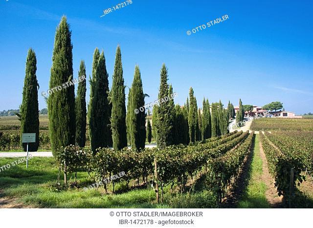 Cypress-lined road, Poliziano winery, Vino Nobile, Montepulciano, Tuscany, Italy, Europe