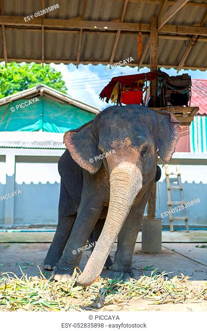 KOH CHANG, THAILAND - JANUARY 20: Thai tourist elephant swaying from left to right. Tourist attraction in Koh Chang Island, Trat Province