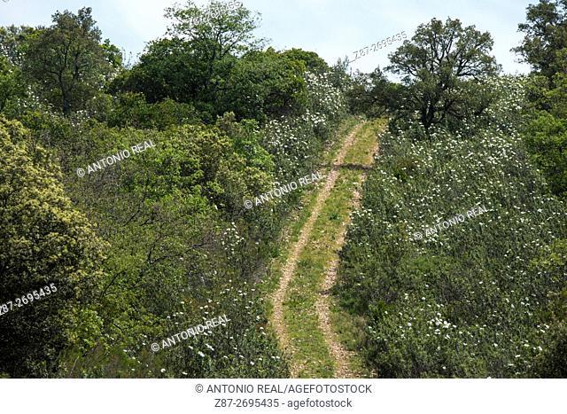 Cistus ladanifer fields, Cabañeros National Park,  Ciudad Real province, Castile La Mancha, Spain