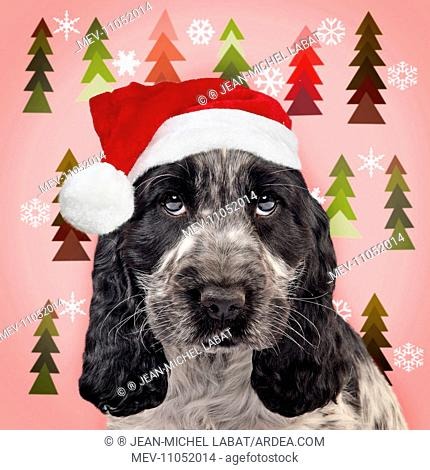 aac9bab37ff0d Dog - Cocker Spaniel puppy wearing Christmas hat - Christmas tree paper  background Digital Manipulation