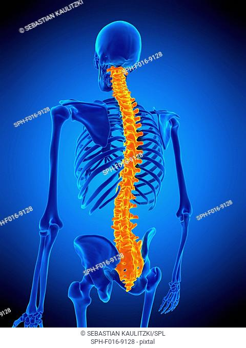 Illustration of the human spine