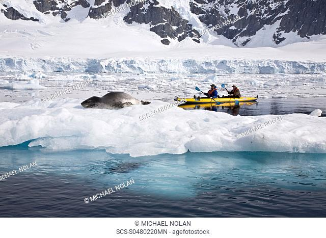 National Geographic photographer Joel Sartore and his wife Kathy kayaking with a leopard seal near Danco Island, Antarctica The Leopard seal Hydrurga leptonyx...