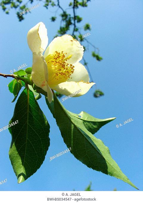 Japanese stewartia (Stewartia pseudocamellia), branche with flower aganist blue sky