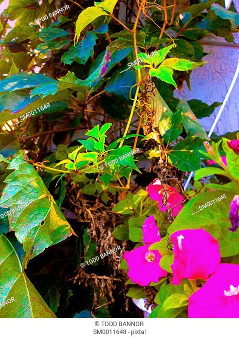 Overgrown garden. Virginia creeper vines and petunias